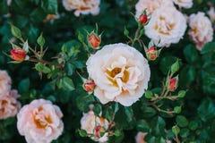 En härlig buske med rosor royaltyfri bild