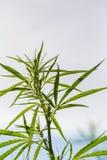 En härlig cannabis som växer i trädgården Hampa lämnar closeupen royaltyfria bilder