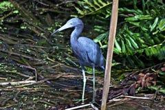 En härlig fågel i ett Florida träsk royaltyfri fotografi