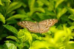 En härlig fjäril Arkivbild