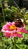 En härlig fjäril sitter på en rosa tusensköna arkivbild