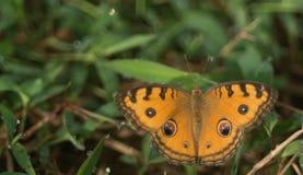 En härlig fjäril som ligger i jordningen fotografering för bildbyråer