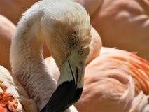 En härlig flamingo Arkivfoto