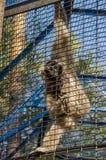 En härlig fluffig apa sitter i en bur på zoo i sommar arkivfoton