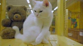 En härlig fullblods- katt av vit färg tvättas zoo stock video