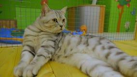 En härlig fullblods- katt tvättar sig zoo lager videofilmer