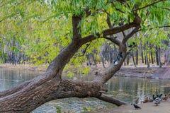 En härlig gammal fantastisk branchy vide med gröna och gula sidor och en grupp av duvafåglar vid ett damm med änder royaltyfria bilder