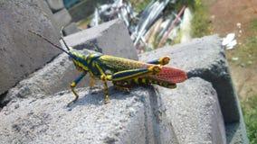 En härlig gräshoppa Royaltyfri Fotografi