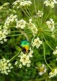 En härlig gräsplanskalbagge, ett kryp sitter på en stor vit blomma av för Cicúta för den giftiga växten ³ sa virà Royaltyfri Bild