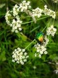 En härlig gräsplanskalbagge, ett kryp sitter på en stor vit blomma av vir sa för Cic ta för den giftiga växten Royaltyfria Foton
