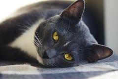 En härlig grå katt med ljusa gula ögon royaltyfria bilder