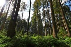 En härlig grön skog i Bayern Arkivfoto