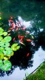 En härlig grupp av den röda fisken arkivbilder