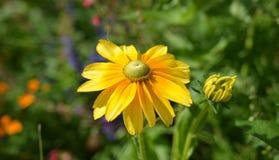 En härlig gul blomma i en trädgård royaltyfri foto