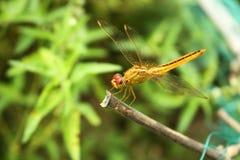 En härlig gul slända i en grön trädgård arkivfoto