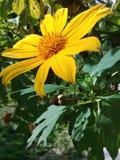 En härlig gul tusenskönablomma i trädgården royaltyfria foton