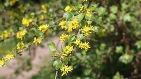En härlig gul vår blommar i filialer i trädgården arkivfilmer