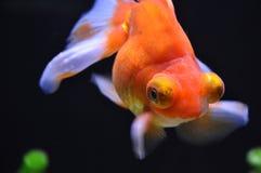 En härlig guldfisk royaltyfri foto