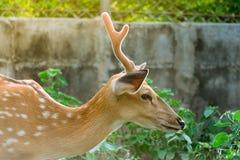 En härlig hjort Fotografering för Bildbyråer