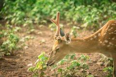 En härlig hjort Arkivfoton