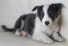 En härlig hund som blinkar ett öga som ser kamerabodercollien arkivfoton