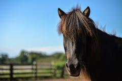 En härlig isländsk häst Arkivbild