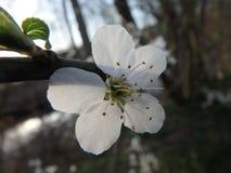 En härlig körsbärsröd blomning i solnedgången, träd, arkivfoton