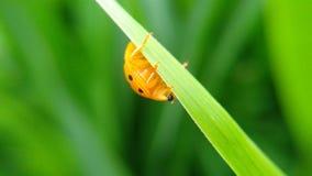 en härlig liten orange skalbagge ser uppochnervänd royaltyfri bild