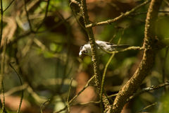 En härlig liten skogmes som matar på malar i ett träd Royaltyfria Foton
