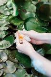 En härlig Lotus blomma som svävar ovanför vattnet i botanisk trädgårddammet royaltyfri bild
