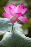 En härlig lotusblomma i bygden av Kina Royaltyfri Bild