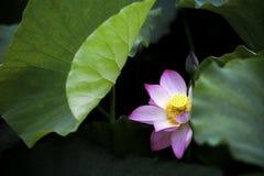 En härlig lotusblomma i bygden av Kina Royaltyfri Fotografi