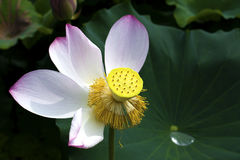 En härlig lotusblomma i bygden av Kina Arkivfoto
