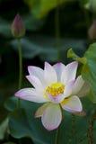 En härlig lotusblomma i bygden av Kina Arkivbilder