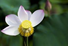 En härlig lotusblomma i bygden av Kina Fotografering för Bildbyråer