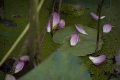 En härlig lotusblomma i bygden av Kina Royaltyfria Foton