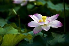 En härlig lotusblomma i bygden av Kina Arkivbild