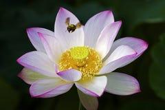 En härlig lotusblomma i bygden av Kina Royaltyfria Bilder