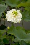 En härlig lotusblomma i bygden av Kina Royaltyfri Foto
