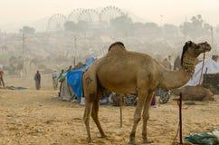 En härlig manlig kamel på den Pushkar kamelmässan, Rajasthan, Indien Arkivfoto