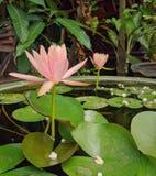 En härlig mjuk för persikalotusblomma för pastellfärgade rosa färger som blomma blommar över vattnet i lotusblommakruka royaltyfri fotografi