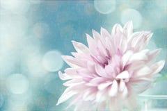 En härlig mjuk rosa färgblomma. Arkivfoton