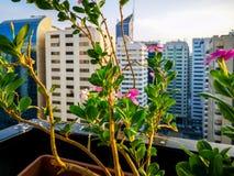 En härlig morgonsoluppgång i den Abu Dhabi staden avslappnande sikt från balkongen med härliga blommor royaltyfri bild