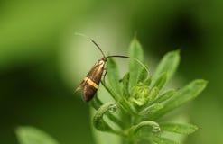 En härlig mycket liten Nemophora degeerellamal som sätta sig på en växt Fotografering för Bildbyråer