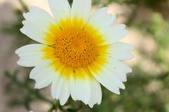 En härlig och stor tusensköna av vita kronblad Arkivbild
