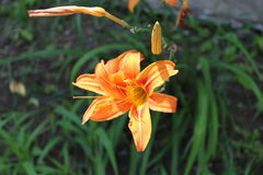 En härlig orange lilja har sidor för lång gräsplan Royaltyfri Foto