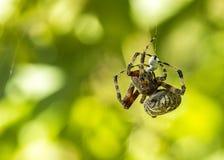 En härlig orb-vävare spindel som väver hans rengöringsduk arkivfoton