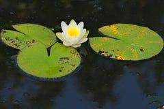 En härlig, perfekt ljus blom för blomma för vit lotusblomma oavkortad, i ettridit damm i en frodig thailändsk trädgård parkerar arkivbild