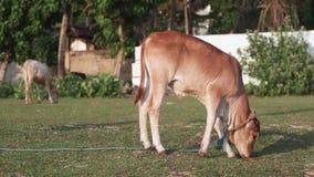 En härlig röd kalv med ett rep på hans hals betar på ängen stock video