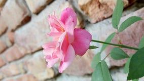 En härlig ros, liten ros arkivbilder